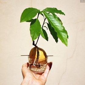 Как вырастить авокадо из косточки?